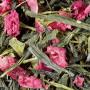 thé vert fraise pistache