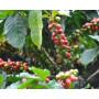 Café Costa Rica - Vallée Centrale - Tico